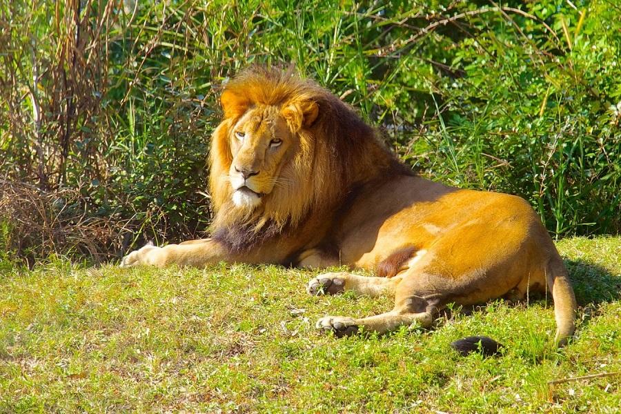 Busch-Gardens-leon